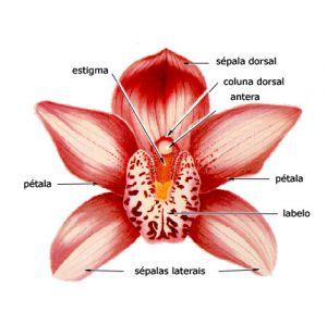 Flor da orquídea_ morfologia